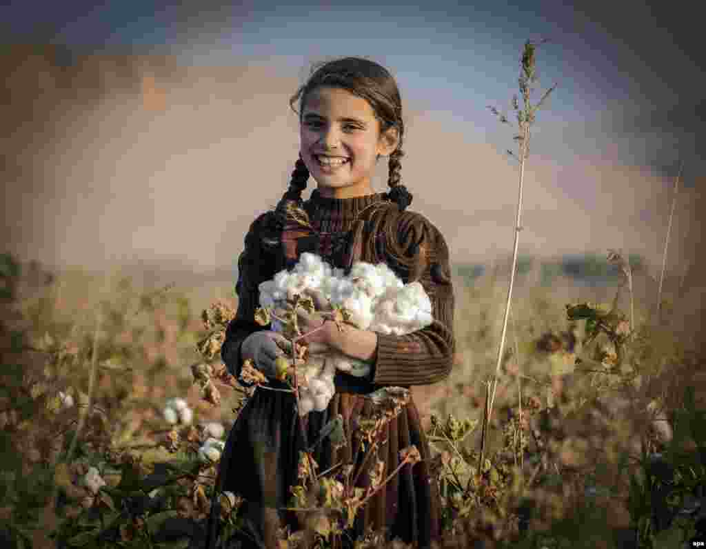 An Afghan girl harvests cotton buds in a field in Balkh Province. (epa/Sayed Mustafa)