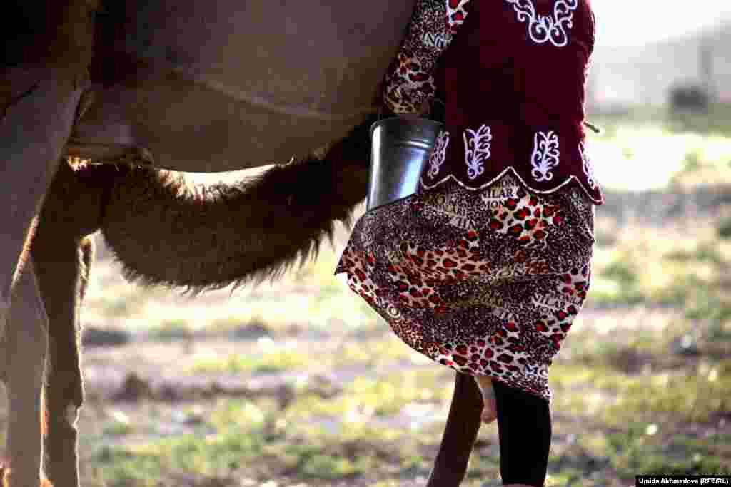 Айдана быстро наполняет ведро молоком. Видно, что она очень хорошо освоила технику доения верблюдиц.