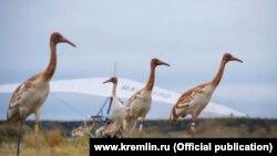 Стерхи на Ямале