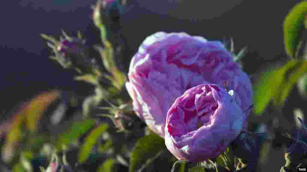 Тут вирощують два сорти троянд: Веселка і Лань