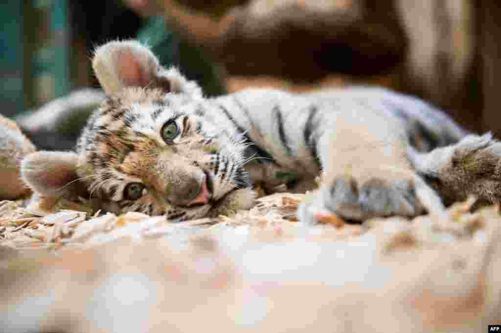 Традицию праздновать день тигра ввели в 2010 году