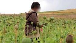 With Schools Shut, Afghan Children Work The Poppy Fields