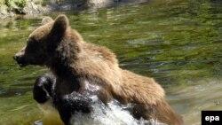 Ky lloj i ariut thuhet se është seriozisht i rrezikuar në Shqipëri