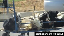 Власти Туркменистана опровергают гибель домашних животных и птиц