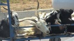Türkmen weterinarlary mallary bejermekde prezidentiň kitabyndaky dermanlyk ösümliklerden peýdalanmagy maslahat berýär