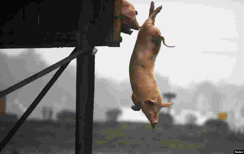 A pig dives into the water in China's Hunan Province. Villager Huang Demin drives his pigs to dive into the water from a 3-meter-high platform at least once a day, believing that the exercise improves the quality and taste of their meat. He reportedly sells meat from his diving pigs for three times the market price. (Reuters)
