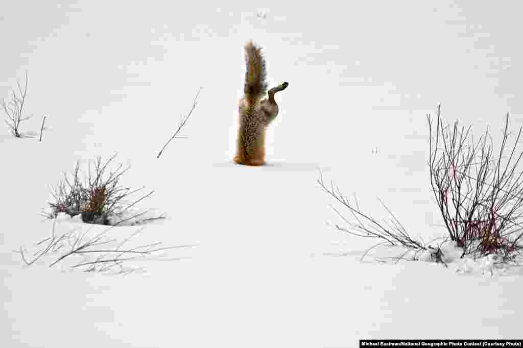 HONORABLE MENTION: Red Fox Catching Mouse Under Snow (Squaw Creek, Park County, Wyoming) -- With his exceptional hearing, a red fox has targeted a mouse hidden under 2 feet (0.6 meters) of crusted snow. Springing high in the air, he breaks through the crusted spring snow with his nose. His body is completely vertical as he grabs the mouse under the snow. (Caption by photographer Michael Eastman)