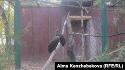 Жыртқыш құс - тазқара. Алматы зоопаркі, 5 қараша 2013 жыл.