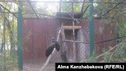 Черные грифы в зоопарке Алматы. 5 ноября 2013 года.