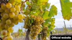Крим. Збір винограду