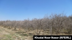 د بلوچستان پښتنو اقتصاد تر ډېره پر کرکېله تکیه لري چې اوبه ورته په برېښنا راباسي