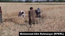 آرشیف، جمع آوری حاصلات گندم در ولایت سرپل