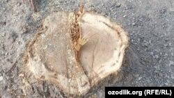 Пень после вырубки деревьев в махалле «Ахмед Югнаки» в Мирзо-Улугбекском районе города Ташкента.