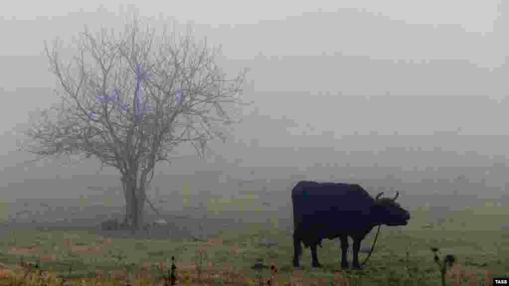 Aratuq köyündeki sığır