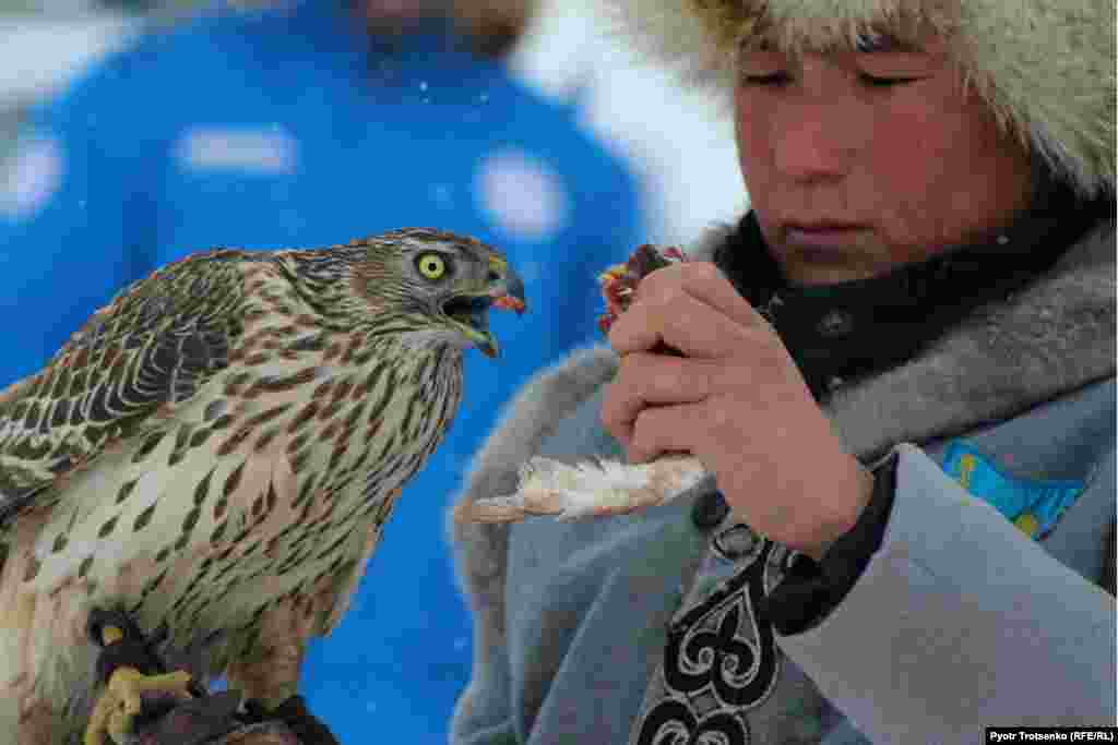 A falconer feeds fresh meat to his falcon before the competition in order to whet the bird's appetite.