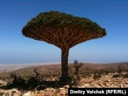Драконово дерево – символ роялистов