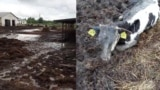 Belarus - disaster in the Belarusian village, dead cow