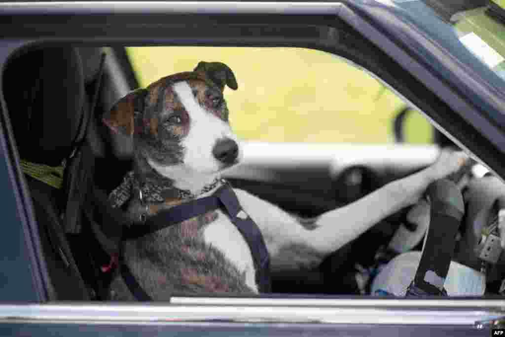 O poză de fişă care-l prezintă pe Ginny, unul din cei trei câini atrenaţi să conducă maşina - să ţină direcţia, să apese pedalele şi să schimbe vitezele, - ca parte a unei campanii din Noua Zeelandă pentru stimularea adopţiilor de animale din adăposturi. (Photo AFP/DraftFCB)
