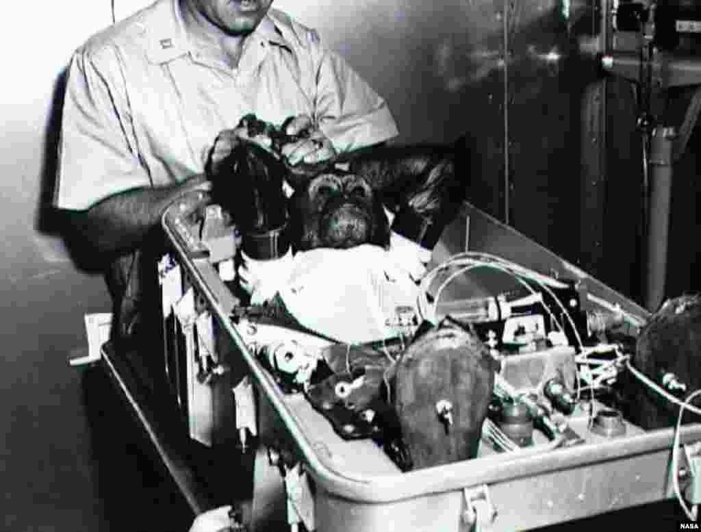 """Enos, a chimpanzee, wears a space suit in his flight couch while being prepared for insertion in the United States's """"Mercury-Atlas 5"""" capsule in 1961. Enos survived the mission."""