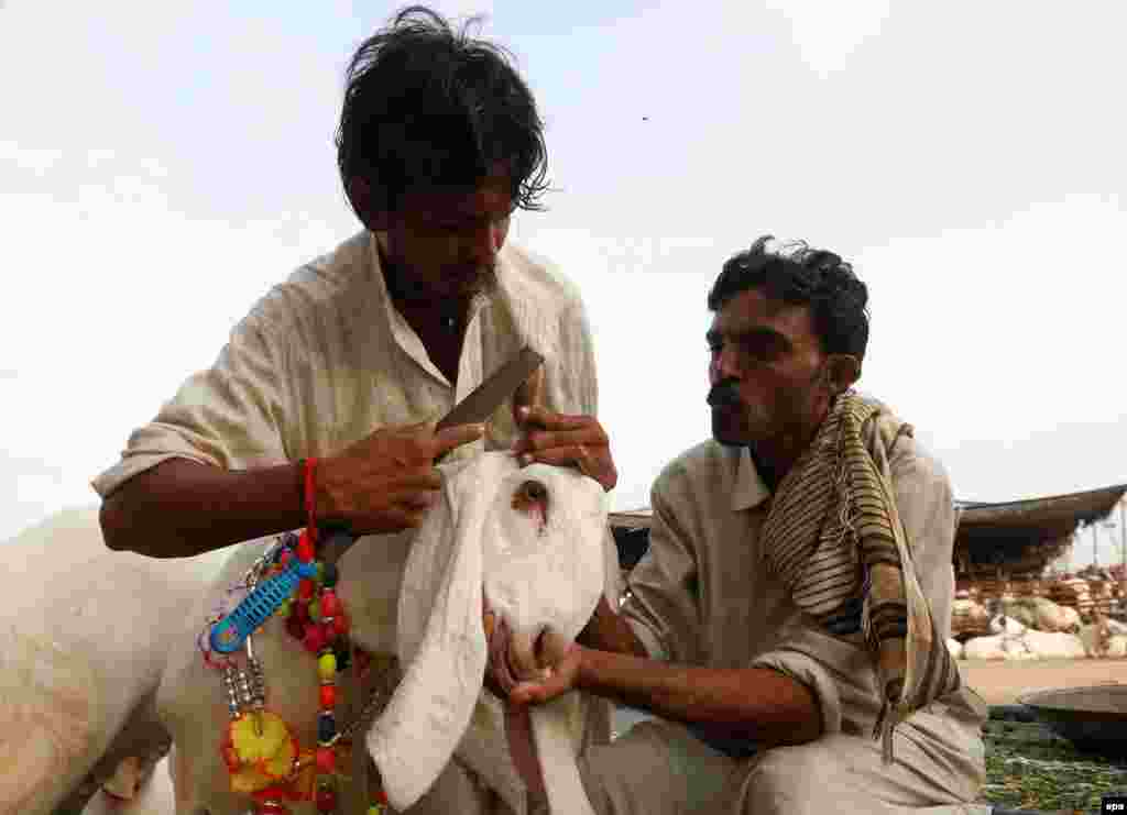 A Pakistani trader files the horns of a goat before putting it up for sale at a market in Karachi.