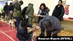 Кинологи проводят осмотр собак на выставке казахской борзой – тазы. Актобе, 7 декабря 2018 года.