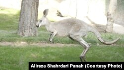 Crveni kengur, ilustrativna fotografija