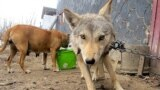 Kyrgyzstan_wolf_20Feb14