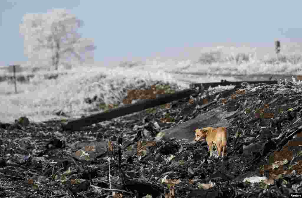 A dog stands at the site where Malaysia Airlines Flight MH17 crashed near the village of Hrabove in eastern Ukraine. (Reuters/Maxim Shemetov)