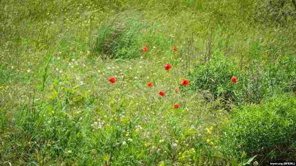 Караларская степь богата разнообразием полевых цветов: алеет дикий мак, синеют «звездочки» цикория