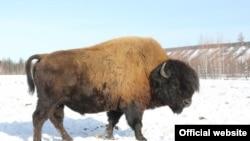 Якутские бизоны, занесенные в Красную книгу
