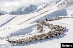 Казахские чабаны ведут отару овец по зимнему ущелью в Илийском округе Синьцзян-Уйгурского автономного района. 21 ноября 2015 года.