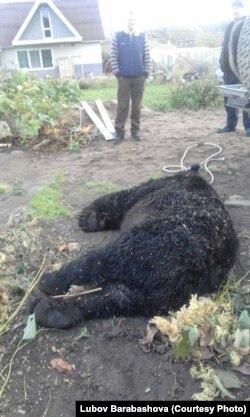 Медведь, убитый в поселке Лопатино