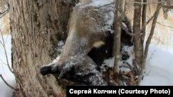 Погибший от истощения гималайский медведь