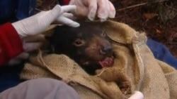 Часть популяции тасманийских дьяволов отправят в зоопарки США и Новой Зеландии, чтобы сохранить вымирающий вид