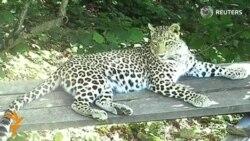 Зоологлар Кавказда форс леопардини кўпайтирмоқчи