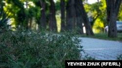Цветение амброзии в Севастополе
