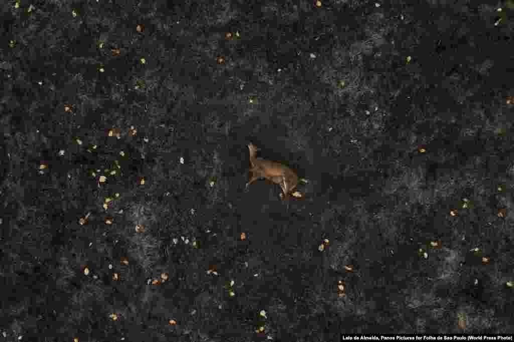 Мертвый олень на месте лесного пожара (13 августа 2020).Почти треть бразильского региона Пантанал была уничтожена пожарами. Первое место в категории «Окружающая среда, фоторепортаж», автор –Лало де Алмейда