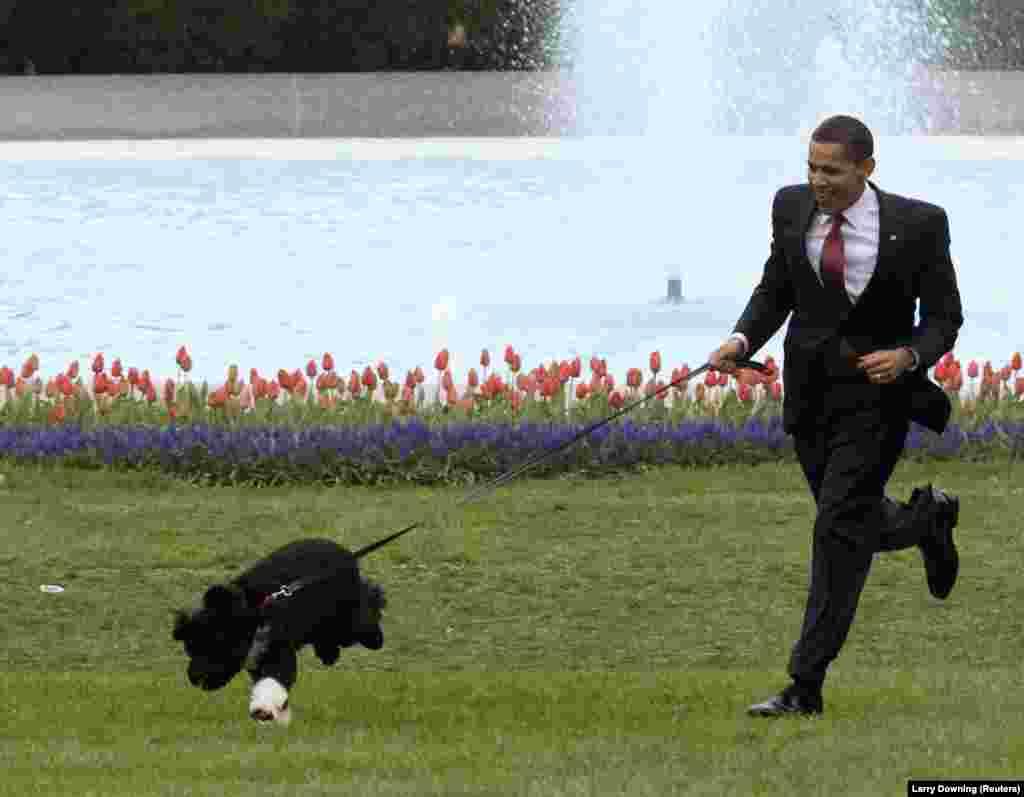 14 апреля 2009. 44-й президент США Барак Обама вместе со своим новым другом – щенком португальской водяной собаки Бо – на южной лужайке Белого дома. Бо стал подарком семье президента США от сенатора Теда Кеннеди в 2009 году. Через четыре года президентская семья завела второго собаку этой же породы – Санни