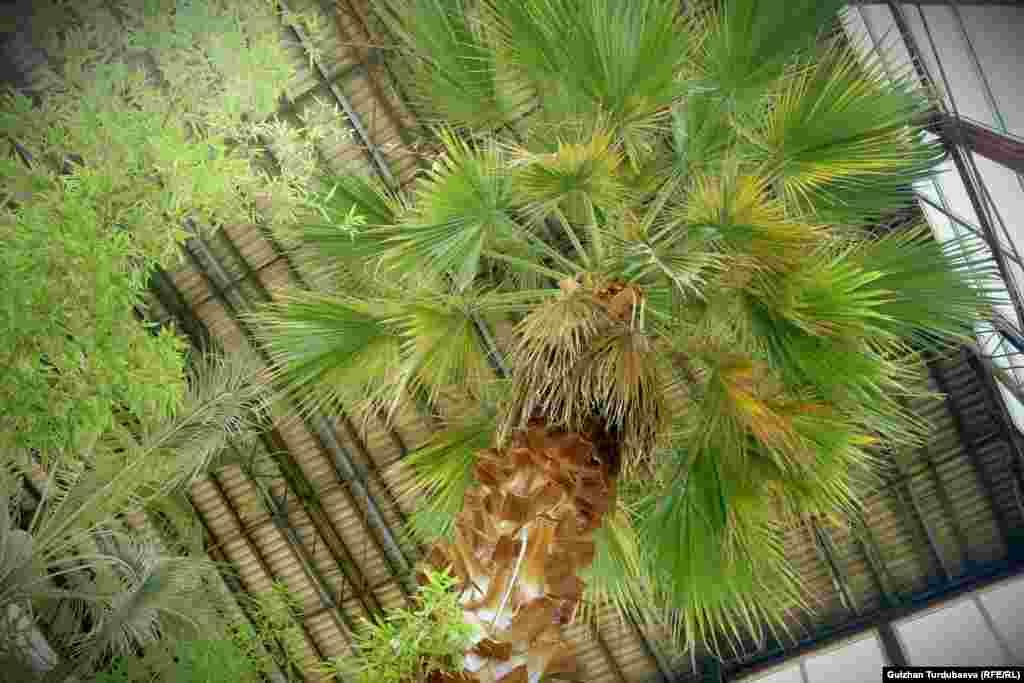 Оранжереядагы 70 жылдан бери өсүп турган пальма. Пальманын бул түрүнүн мекени Түштүк Америка.