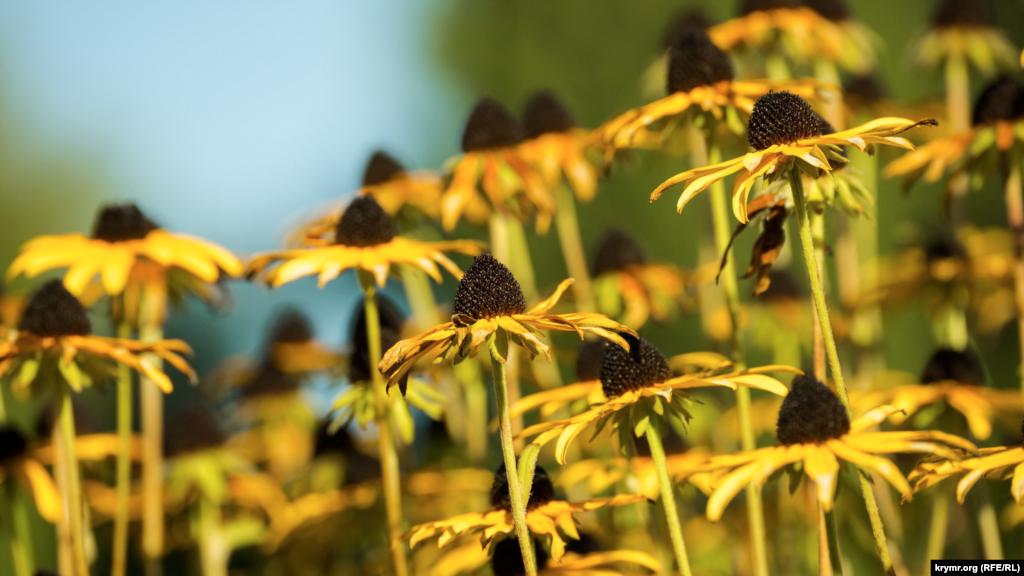 І потроху в'яне рудбекія багаторічна. Вона – представниця роду трав'янистих сімейства айстрових. Завдяки своєму зовнішньому вигляду, рудбекія має й інші назви: «чорноока Сюзанна» – в англійців, «сонячний капелюх» – у німців. Ця декоративна культура популярна серед садівників не лише через невибагливість у догляді. Її квітки лимонного забарвлення нагадують про літо і підіймають настрій