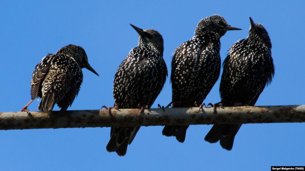 Шпаки поблизу села Міжводне – цих птахів називають провісниками весни. Як правило, вони прилітають до Криму наприкінці лютого, коли на півострові – стійка тепла погода