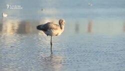Păsările flamingo din Kazahstan, amenințate de dezvoltatorii imobiliari