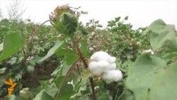 OZOD-VIDEO: Ўзбекистонда пахта теримига оммавий сафарбарлик бошланди