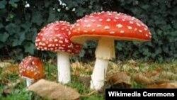 За словами іранських чиновників, отруйні гриби дуже схожі на їстівні