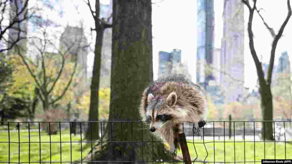 Адам аяғы сап тыйылған Нью-Йорктегі орталық бақтың қоршауына өрмелеп шығып алған жанат. АҚШ, 16 сәуір 2020 жыл.