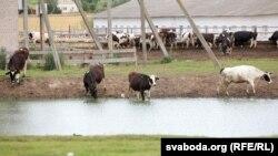 Ферма у селі Євдокимовичі. Шкловський район