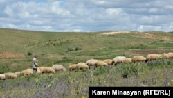 Armenia - Sheep graze in Urtsasar mountains, 22Jun2012.