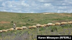 Armenia - Sheep graze in Urtsasar mountains, 22Jun2012.