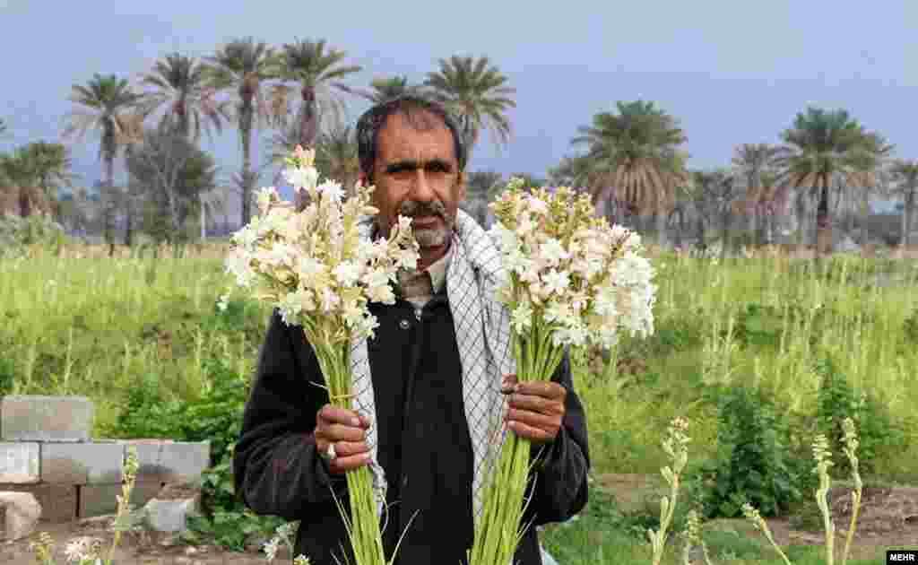 برداشت گل مریم در ۱۵ هزار متر مربع از مزارع پرورش گل هرمزگان
