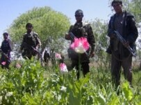 Afghan police eradicating an opium-poppy field in April (epa)
